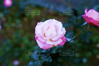 ピンクの薔薇のアップの写真・画像素材[1715872]