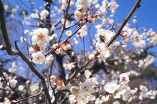 みつばちと梅の写真・画像素材[1829442]