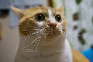 びっくり猫の写真・画像素材[2078534]