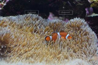 サンゴ、水の写真・画像素材[1443837]