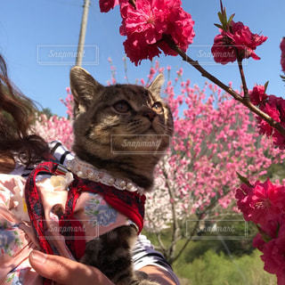花見する猫の写真・画像素材[1442295]