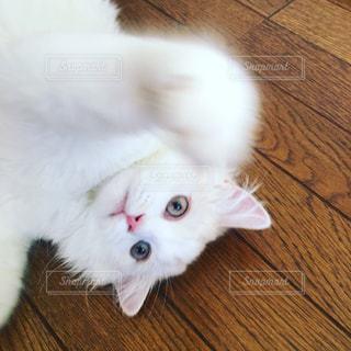 木製の床の上に横たわる猫の写真・画像素材[1442544]