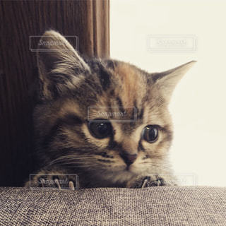 ひょっこり顔を出す仔猫の写真・画像素材[1442545]