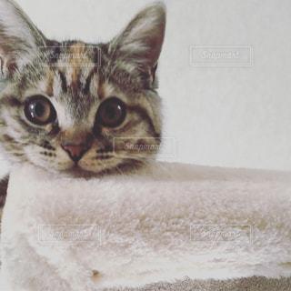カメラを見ている猫の写真・画像素材[1442546]