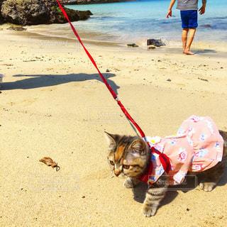 人とビーチの上を歩く猫の写真・画像素材[1442547]