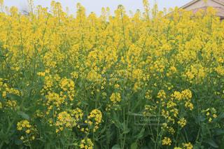 フィールド内の黄色の花の写真・画像素材[1443172]