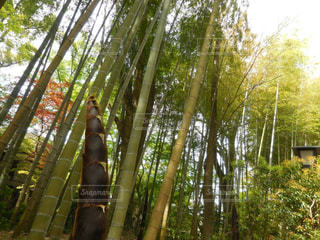 竹林の写真・画像素材[1444375]