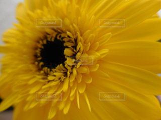 黄色のガーベラの写真・画像素材[1448624]
