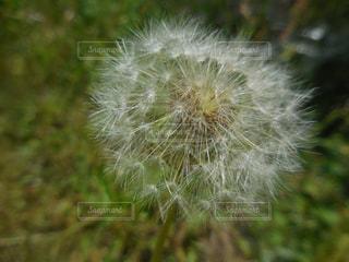 タンポポの写真・画像素材[1452752]