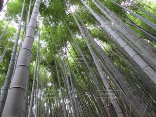 嵯峨野の竹林の写真・画像素材[1493595]