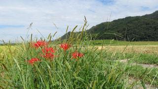 彼岸花の写真・画像素材[1493600]