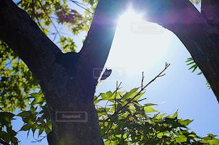 木の枝にとまった蝉の写真・画像素材[1446965]