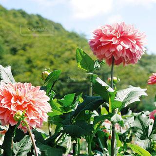 ピンクのダリアの写真・画像素材[1444530]