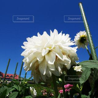 白いダリアと青空の写真・画像素材[1444531]