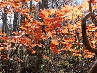 近くにオレンジの木のアップの写真・画像素材[1444939]