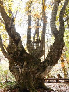 森の大きな木の写真・画像素材[1444940]