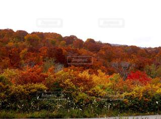 山の紅葉の写真・画像素材[1452466]