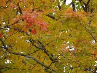 色付いた葉の写真・画像素材[1458163]