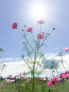 高原のコスモスの写真・画像素材[1493542]