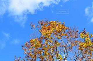 秋晴れの空と色付いた葉の写真・画像素材[1521291]