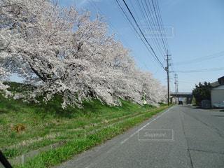 桜通りの写真・画像素材[1445111]