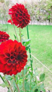 真っ赤な花の写真・画像素材[2475683]