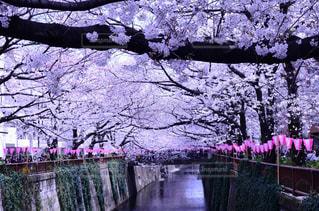 満開の桜の写真・画像素材[1447409]