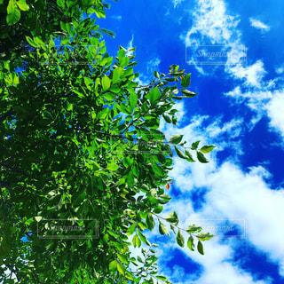 背景の青い空と木の写真・画像素材[1445217]
