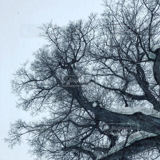 北海道 冬の大木の写真・画像素材[1445250]
