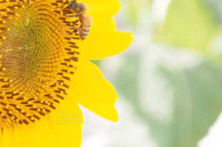 ひまわりとハチの写真・画像素材[1467224]