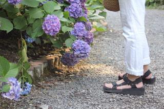 紫陽花と足元の写真・画像素材[1468833]