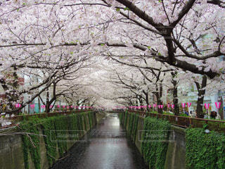 目黒川の桜の写真・画像素材[1451275]
