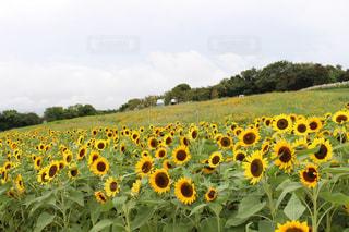 フィールド内の黄色の花の写真・画像素材[1479211]