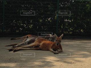 地面に横たわってカンガルーの写真・画像素材[1449799]