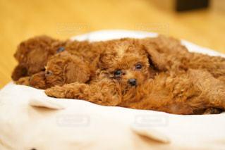 眠い子犬達の写真・画像素材[1448086]