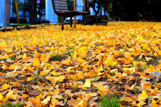 黄色の絨毯の写真・画像素材[1450705]