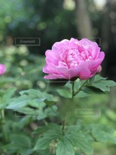 芍薬の花の写真・画像素材[1452437]