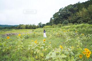 フィールド内の黄色の花の写真・画像素材[1596493]