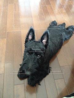 床に寝そべっている黒い仔犬の写真・画像素材[1452379]