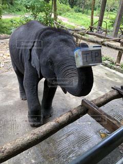 チップをねだる象の写真・画像素材[1464819]
