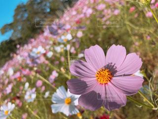 秋桜の写真・画像素材[2629272]