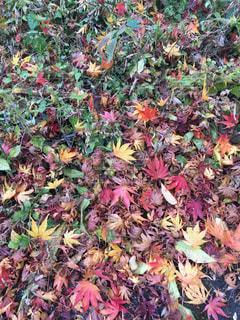 葉っぱがたくさんの写真・画像素材[1454358]