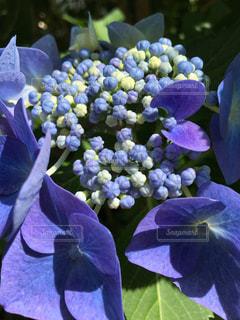 紫陽花が満開の写真・画像素材[1456577]