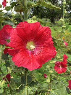植物の赤い花の写真・画像素材[1532105]