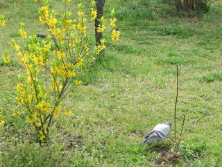 黄色の花と鳩の写真・画像素材[1534550]