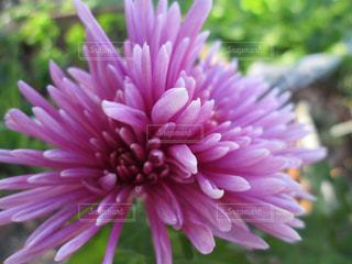濃いピンクの花の写真・画像素材[1534569]