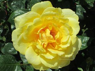 黄色いバラの写真・画像素材[1534690]