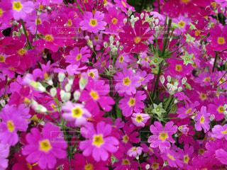 ピンク色の小さな花たちの写真・画像素材[1535473]