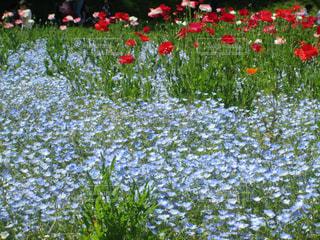 くりはま花の国にての写真・画像素材[1535502]