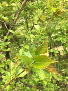 緑の葉っぱたちの写真・画像素材[1535607]